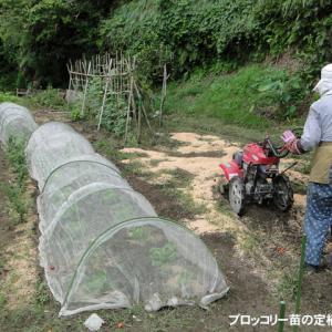 ブロッコリー苗の定植