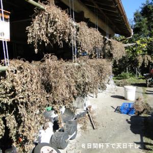 落花生の豆採り