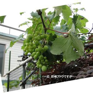 ブドウのお世話
