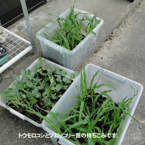 トウモロコシ栽培作戦