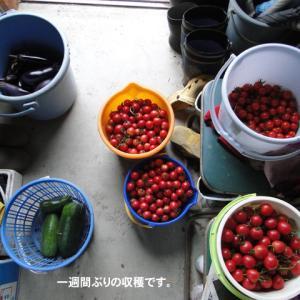 ミニトマト大収穫