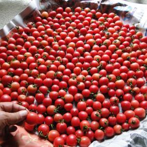ミニトマトの自家採種