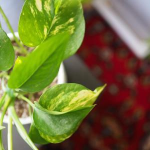日当たりがあまり良くなくてもズボラでも育つ、インドアグリーンはこれだ!