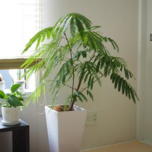 日当たりがあまり良くない我が家でも育つインドアグリーンはこれだ!part2。