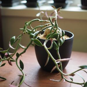 ムチムチ植物、増えました!楽天スーパーセール、予約商品もめちゃめちゃお得!