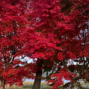 夕暮れ時の紅葉