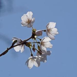 桜の季節&キムチさつま芋