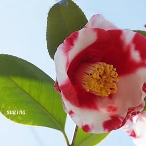 美しい色合い・五色椿