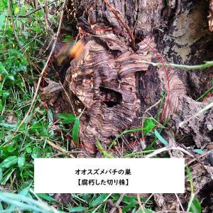 【世界一凶暴】オオスズメバチを知りたいなら見るべし!in鹿児島県出水市 Japanese giant hornet