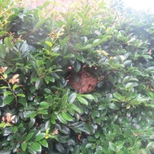 植木の剪定はスズメバチに要注意!