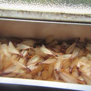 驚愕!住まいに潜む100万匹シロアリの巣【撤去編】大脇シロアリ 出水市