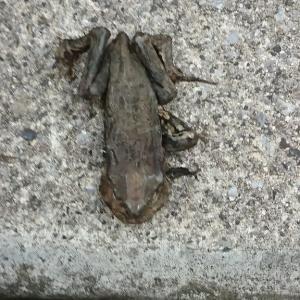干からびた蛙