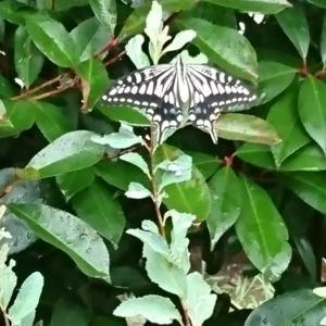 梅雨の合間の蝶々