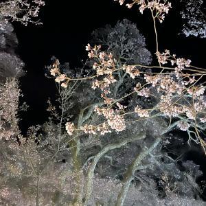 桜輪行旅 2021 高遠城 高遠さくら祭り 夜桜