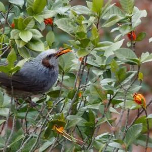 Cutie bird No.33 ムクドリ