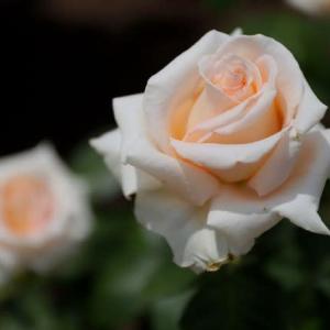 薔薇を愛した詩人大手拓次 ~近代詩の探索者として(上)