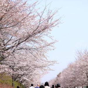 桜まつりやってたよ