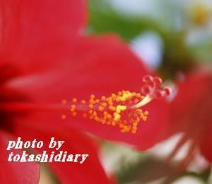 情熱の花ハイビスカス