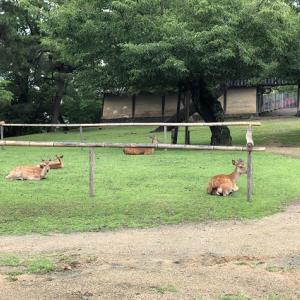 興福寺で見つけた鹿の習性?