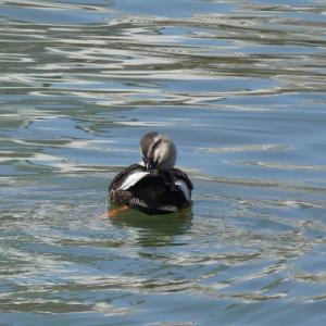 鴨の羽づくろいに春の日差し