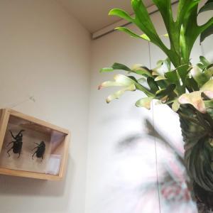 カブトムシの標本箱をDIYしてみた!≪夏の思い出×乾燥標本×標本箱の作り方≫