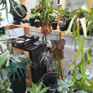 ビカクシダを育てるには秋が最高ですね…≪写真多め×温室DIY×アガベ≫