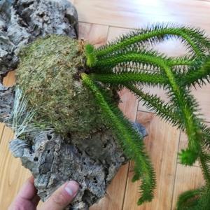 フペルジアの根張り具合を確認してみる。≪シダ植物×コルク付け≫