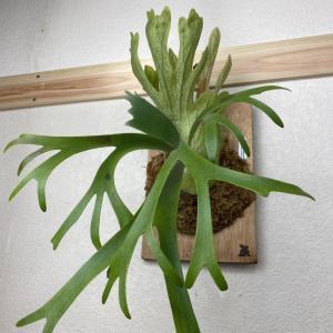 【成長遅い?】P.willinckii cv. pygmaeumの1年後。