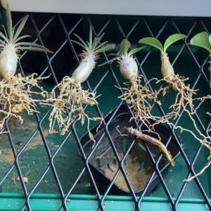 実生3年目のグラキリスを植え替えた。
