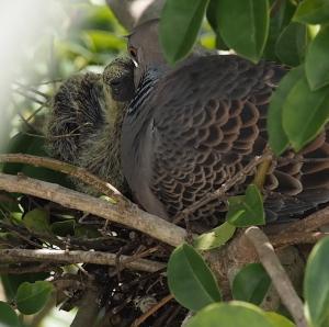鳩の雛さん食事中