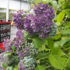 秋色紫陽花とダリア