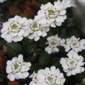 3月の庭 白い花