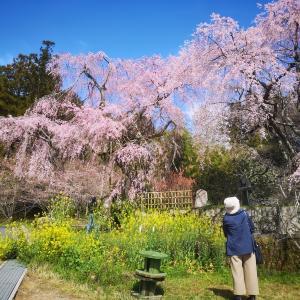 しだれ桜三連弾 2020と安野花の駅