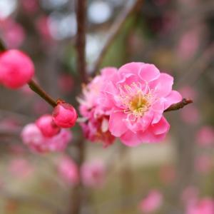 13年ぶりの縮景園 梅
