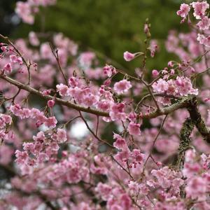 徳佐八幡宮のしだれ桜 【四輪】