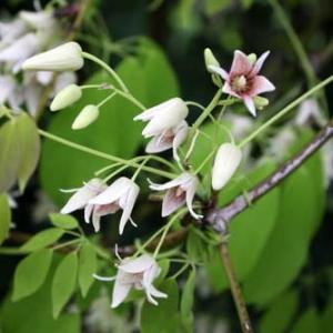 「むべ」なるかな/白い花で黒い酒[花酒と旅の空<55>]