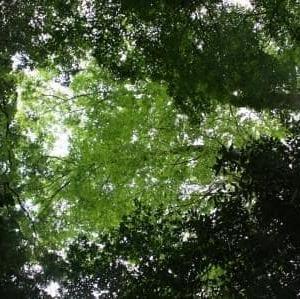諸塚村桂の森で秋の色を染めた[空想の森の草木染め<84>]