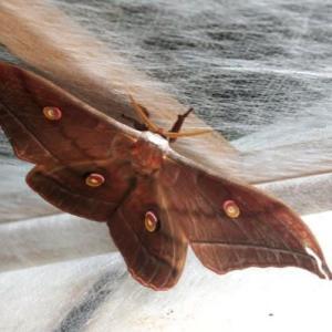 最後に羽化した山繭蛾「ドジ坊」は森へと飛んで行った[森へ行く道<90>]
