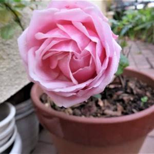 薔薇一輪 師走の庭に 凛と咲き