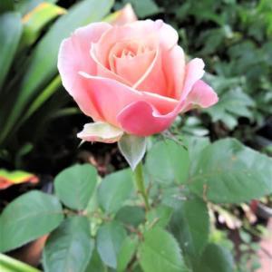 6月3日の庭の花達