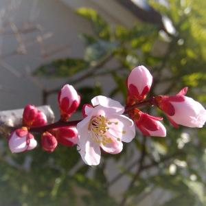 クリスマスローズの蕾と梅の花