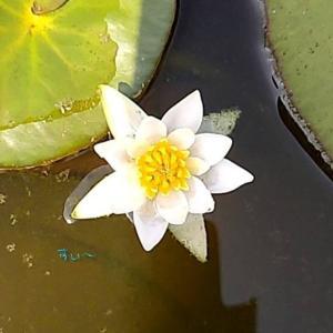 備忘録 ~播種したヒツジグサの開花~