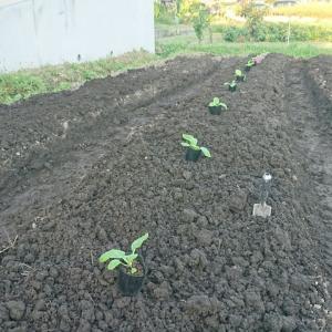 白菜定植、10.10