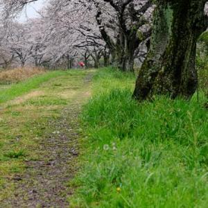 雨降りの桜並木