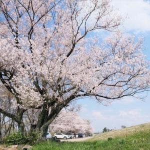 桜満開の扶桑緑地公園