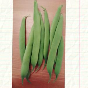 いんげん収穫してみたよ。