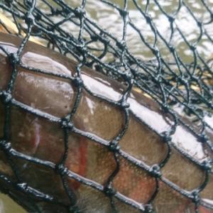 馬淵川で大ヤマメ