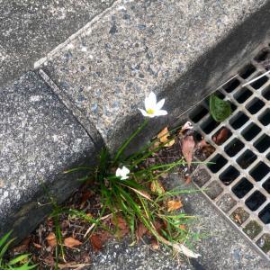 タマスダレって花は雑草じゃないよね?