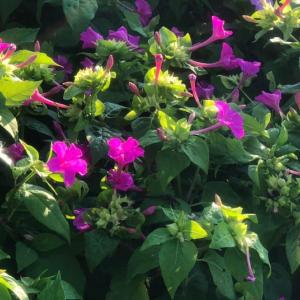 オシロイバナの開花時間と今日の夕空
