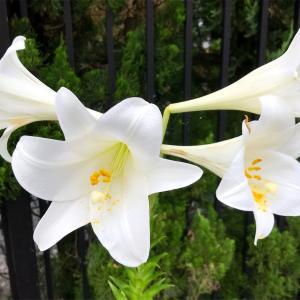 6月の雨が似合う花     ♪( ´▽`)